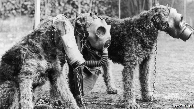 Three Airedale dogs wearing their special gas masks at a Surrey kennel. They were being trained by Lt Col E. H. Richardson.