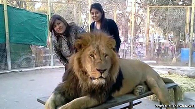 Lion cage visitors