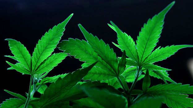 Cannabis addicts 'let down' as Class A drugs get attention