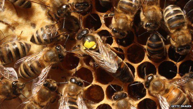 Male honey bee
