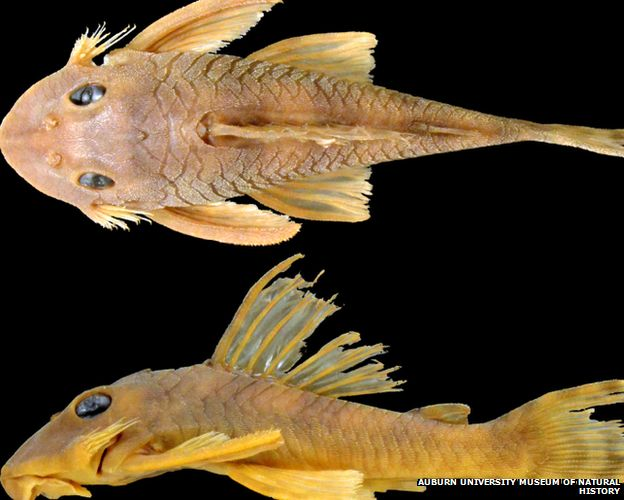 Greedo catfish
