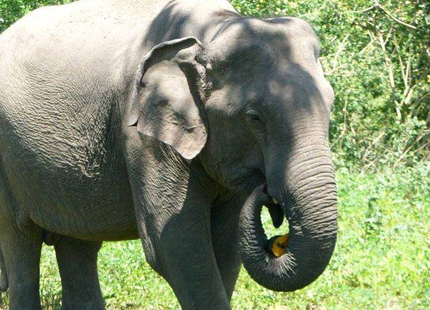 Human Elephant Conflict In Sri Lanka Essay