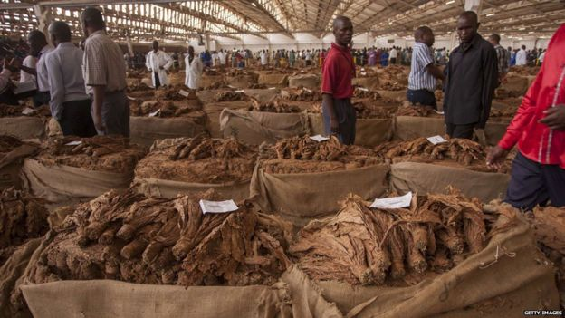 Malawi tobacco is displayed on 8 April 2015 at the Lilongwe Auction Floors in Malawi