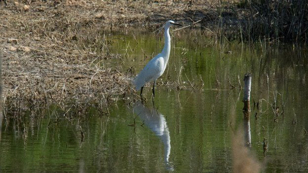 The Little egret (white bird)