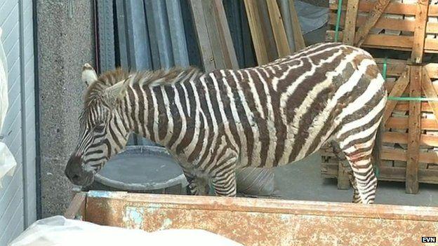 A zebra is captured in Belgium