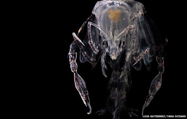 Amphipod collected in North pacific