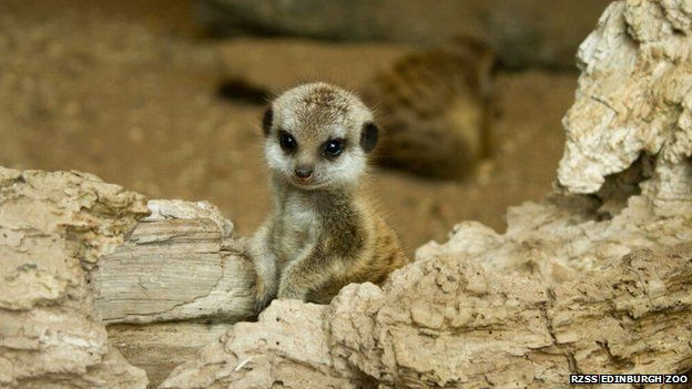 Five Baby Meerkat Pups Playing