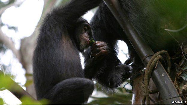 Wild chimp drinking palm wine with a leaf sponge (c) Gaku Ohashi
