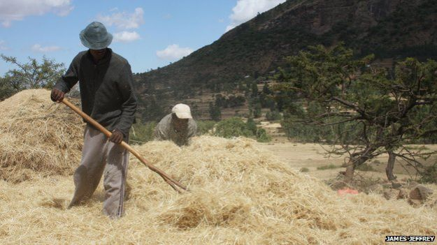 Teff being harvested in Ethiopia