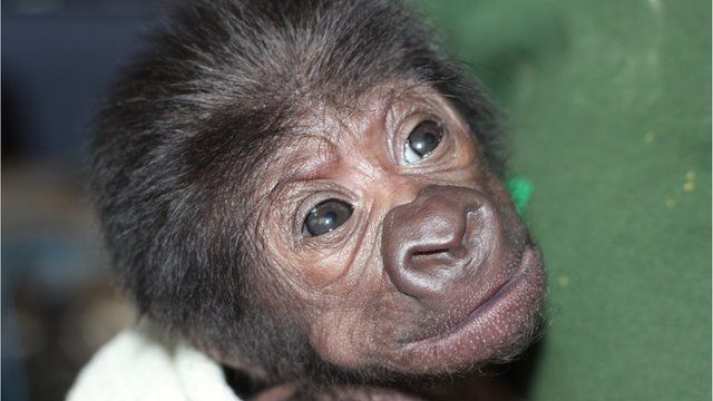 The western lowland gorilla which was born at Bristol Zoo after an emergency caesarean