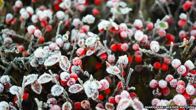 Frost covered red berries