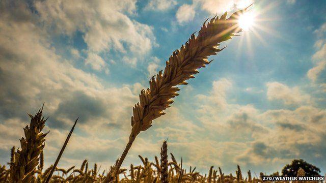 Barley with the sun shining behind