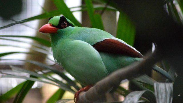 Javan green magpie (c) Chester Zoo