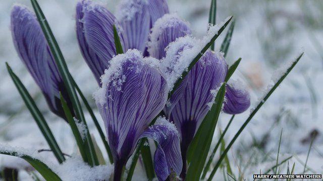 Snow dusted purple flowers