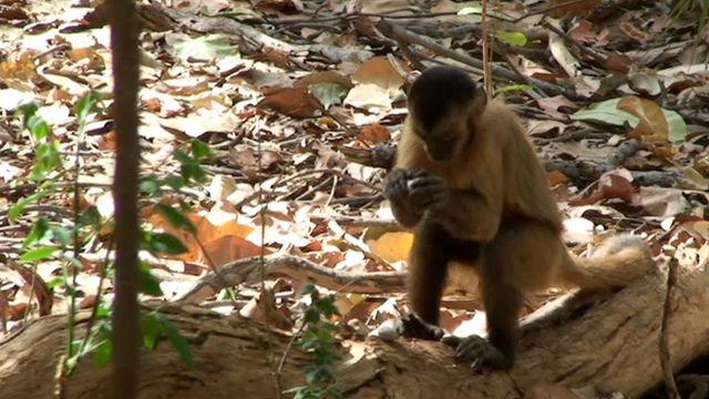 Capuchin using stones to crack a nut (c) Tiago Falotico