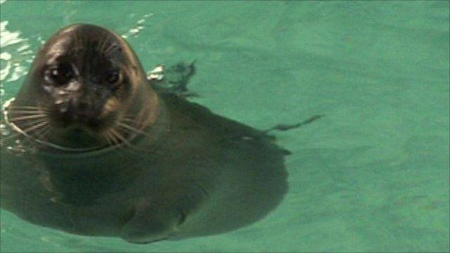 The unique nerpa seal
