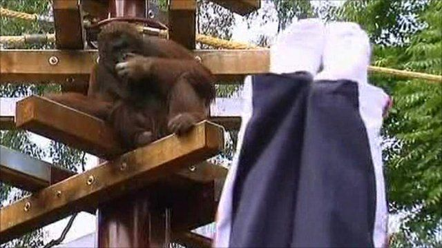 An orangutan watches the gymnast perform his tricks
