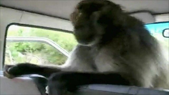 A baboon searches a car for food