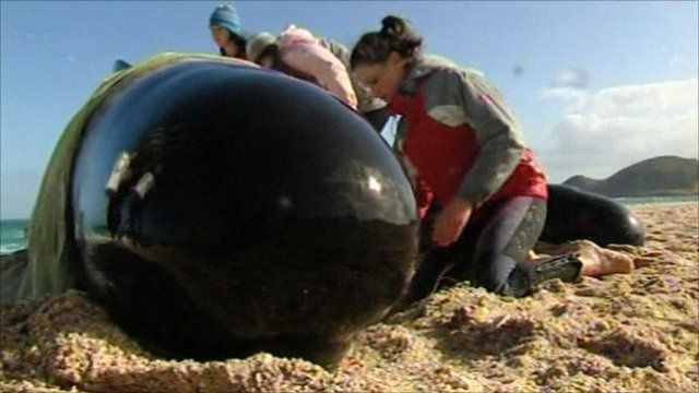 Volunteers trying to keep a whale alive