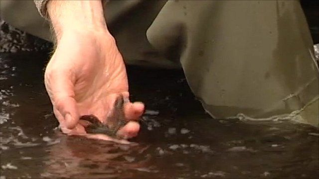 Baby trout being released into the River Rede