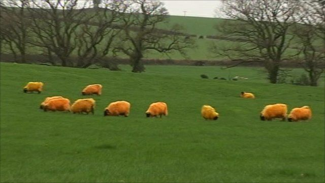 Orange sheep