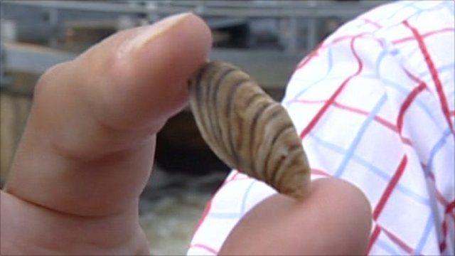 The zebra mussel