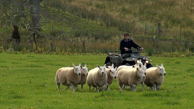 Farmer on a quad bike herding sheep
