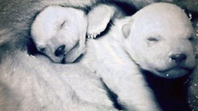 Newborn polar bears