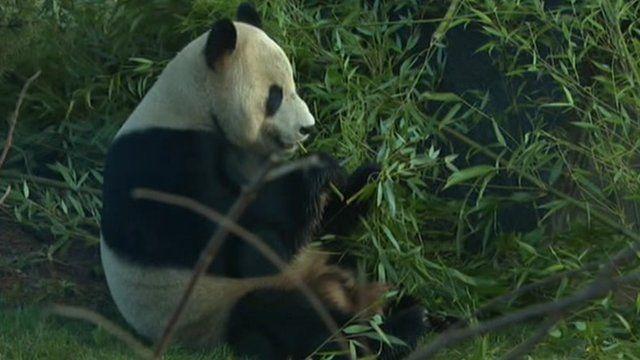 A panda enjoying their bamboo