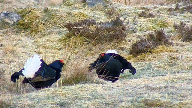 Two black grouse