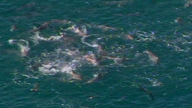 Sharks feeding off Yanchep Beach north of Perth