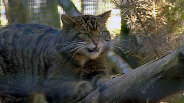 A Scottish wildcat