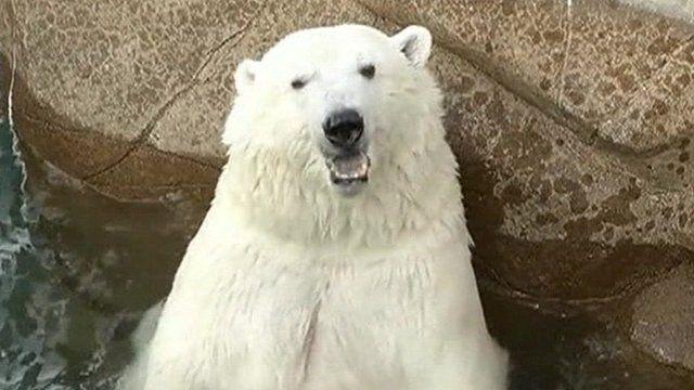 Polar bear in Duluth zoo
