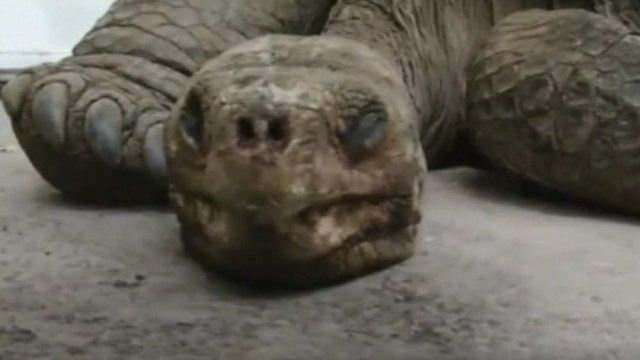 Lonesome George, a giant tortoise