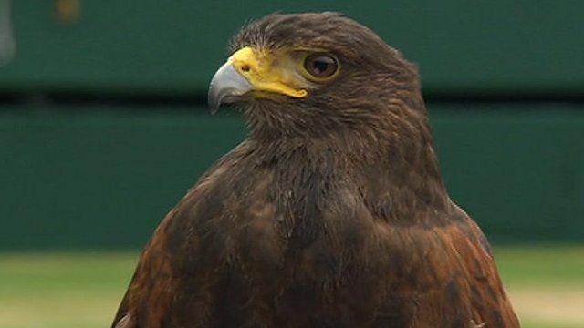 Rufus the hawk