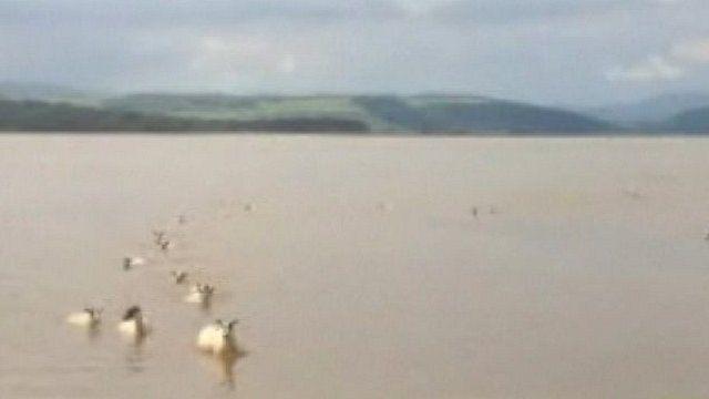 Sheep swimming in Leven Estuary, Cumbria