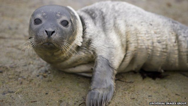 New England harbour seal pup