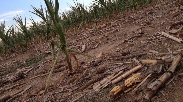 Drought-stricken corn crops