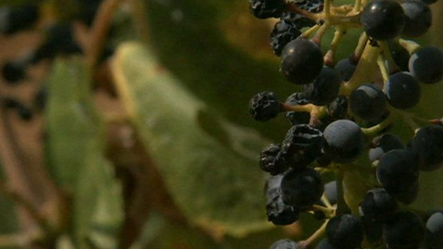 Grapes dry out in sun