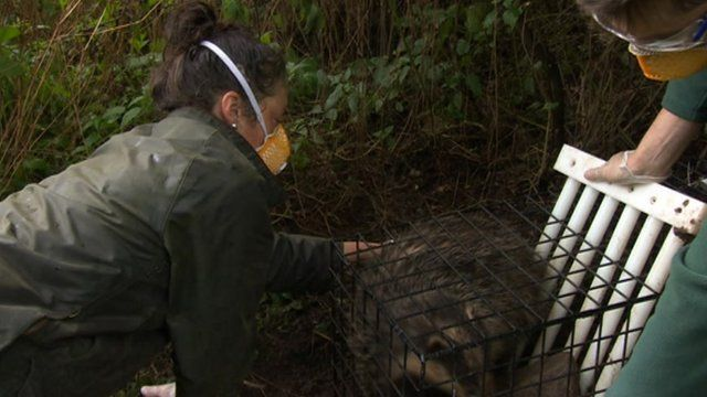A badger is given a vaccination jab