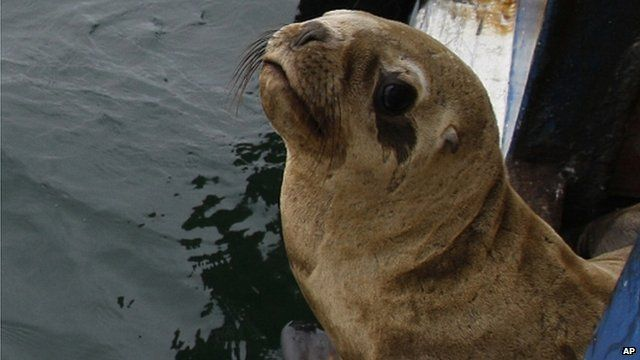Sea lion being released into wild in Peru