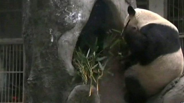 A panda at a zoo in Fu Zhou