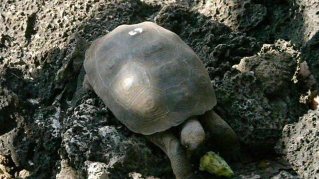 A giant tortoise