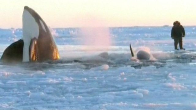 Killer whales come up for air off Hudson Bay