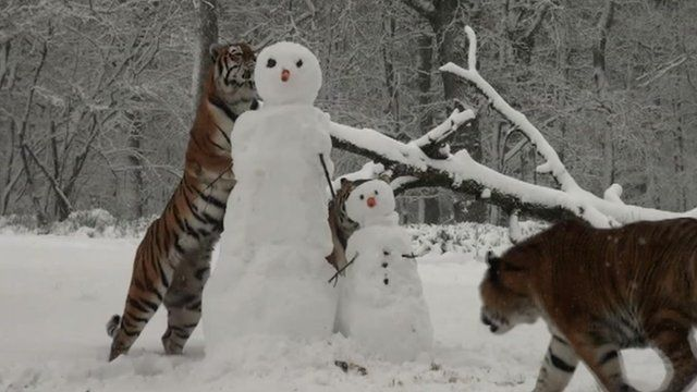 Tigers and snowmen