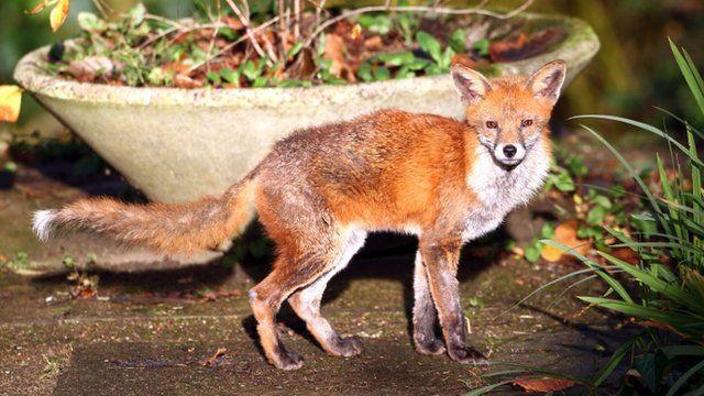 An urban fox looking for food