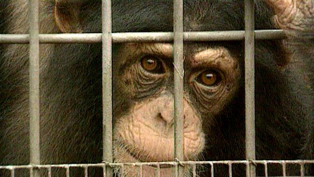Chimpanzee behind a cage