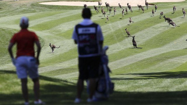 Golfer Karrie Webb waits for kangaroos to be cleared from the Royal Canberra Golf Course