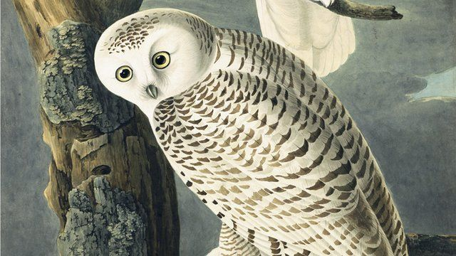 Snowy owl painted by John James Audubon