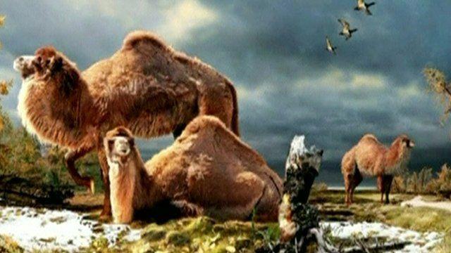 Arctic camel illustration